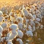 Az organikus pamutról