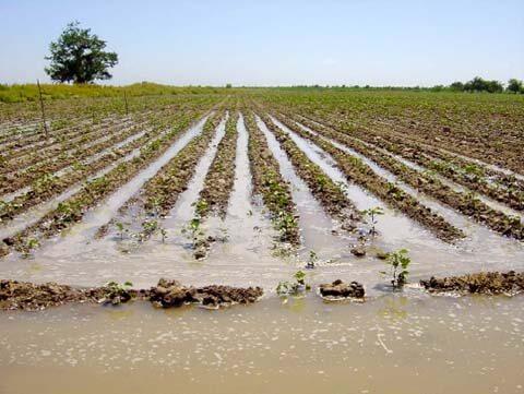 Elárasztott gyapot mező