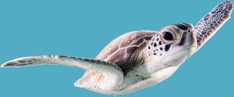 Akciós termékek oldalhoz izolált teknős